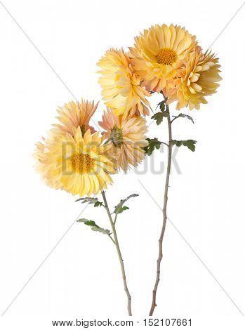 Yellow flowers isolated on white background. Chrysanthemum