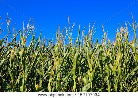 Corn field under blue sky .Corn plants in germany field.