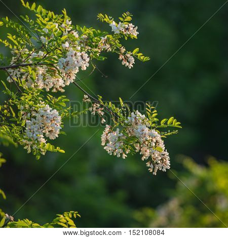 acacia flowers on a green background spring season