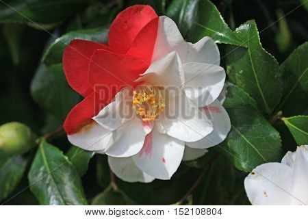 Red and white petals on a Camellia flower