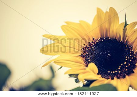 Vintage Photo Of Decorative Sunflower