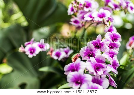 Purple orchids in a garden. Beautiful spring flowers with soft green background