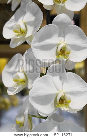 pure white phaleanopsis orchid on it branch