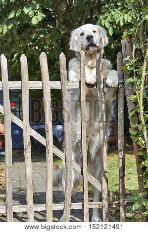 Labrador keeps the garden and the fence