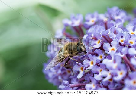 British Hoverfly feeding on a Buddleia flower. There are over 270 species in the UK many are beneficial to gardeners as the larvae feed on pests such as aphids. They are true flies with two wings resembling bees or wasps that have four.