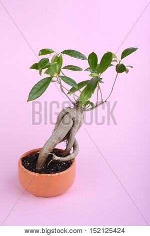 small fig tree bonsai on pink background