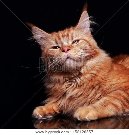 Blissing Female Red Solid Maine Coon Cat With Beautiful Brushes On The Ears Is Squinting On Black Ba