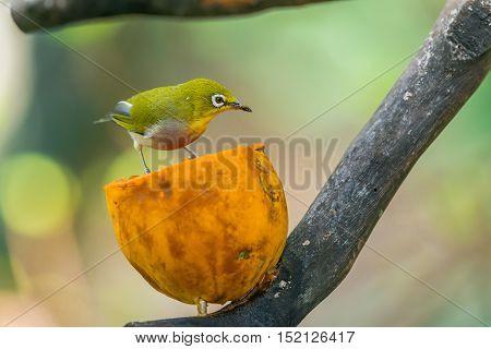Tiny Little Silvereye Or Wax-eye (zosterops Lateralis) A Small Omnivorous Passerine Bird