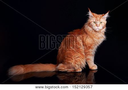 Female Red Solid Maine Coon Cat Sitting With Beautiful Brushes On The Ears And Long Tail On Black Ba