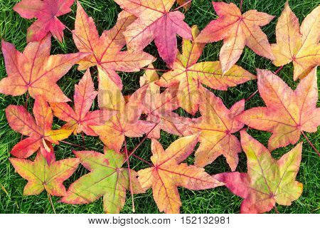 Many colorful fall acer leaves on green grass outside