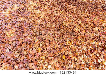 Ground covered with brown beech tree leaves in fall season