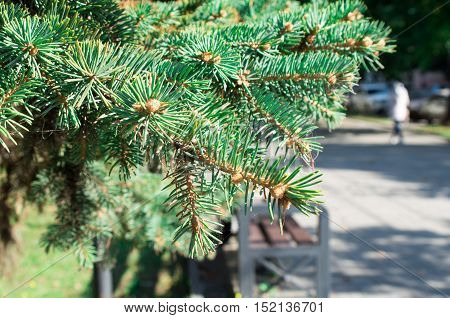 Conifer Branch At The City Street