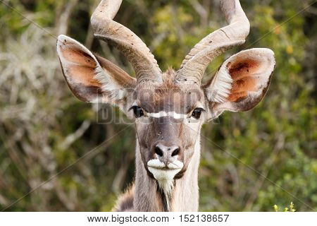 Close Up View Of A Greater Kudu