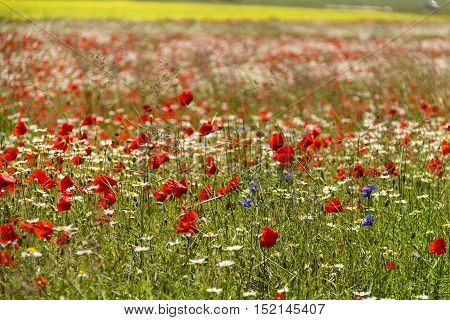 blooms of papaver and cornflowers in the fields of lentils from Castelluccio Mountains National Park Sibillini Umbria Italy