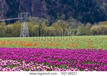 Spring Landscape Tulip Flower Field in Agassiz BC Canada