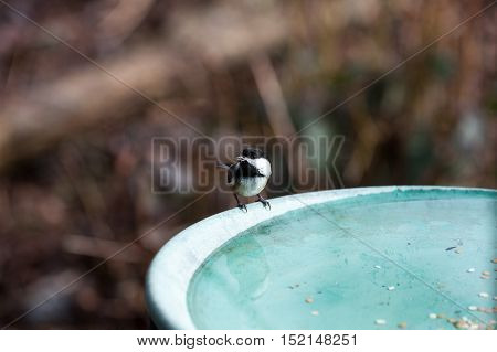a Black capped Chickadee and bath water
