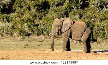 African Bush Elephant Looking At  The Birds