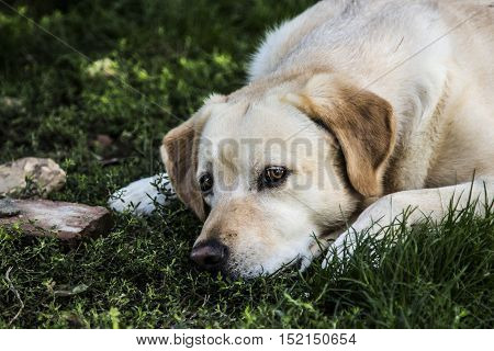 a beautiful labrador crouched in his garden while resting, the perfect friend of man
