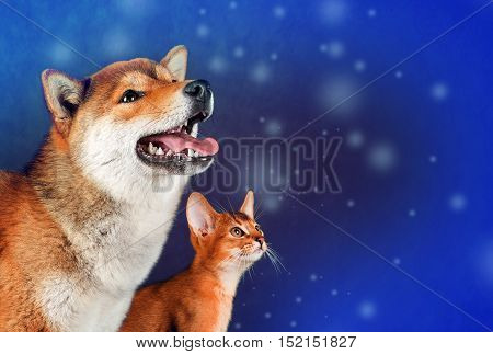 Cat and dog, abyssinian kitten , shiba inu puppy look at left.