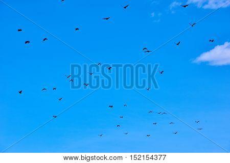 fruit bats flying Palawan Philippines