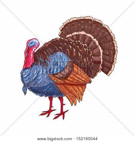Thanksgiving turkey. Color sketch vector isolated turkey bird symbol for thanksgiving holiday celebration decoration design, greeting card, invitation