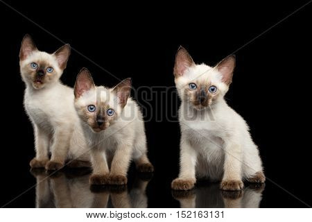 Portrait of Three Beautiful Mekong Bobtail Kittens with Blue eyes Sitting front view, Looking Curious, Isolated Black Background, Color-point Thai Fur