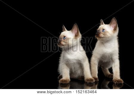 Portrait of Two Beautiful Mekong Bobtail Kittens with Blue eyes Sitting front view, Looking at Side, Isolated Black Background, Color-point Thai Fur