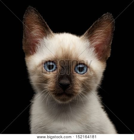 Close-up Portrait of Beautiful Mekong Bobtail Kitty with Blue eyes, Front view, Isolated Black Background, Color-point Thai Fur