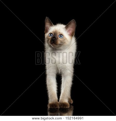 Funny Mekong Bobtail Kitten with Blue eyes, stretched up, front view, Isolated Black Background with Reflection, Color-point Thai Fur