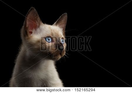 Close-up Portrait of Beautiful Mekong Bobtail Kitty with Blue eyes, Stare at side, Isolated Black Background, Color-point Thai Fur