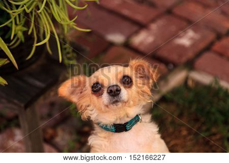 Small blond long haired Chihuahua mixed breed dog with big eyes begs for food