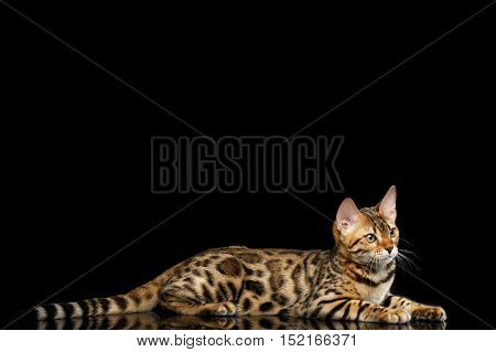 Adorable Bengal kitten Lying on isolated Black Background with reflection
