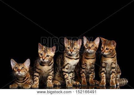 Group of Five Adorable Bengal kittens Sitting on isolated Black Background with reflection