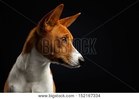 Close-up Portrait of White with Red Basenji Dog Stare at side on Isolated Black Background, Font view
