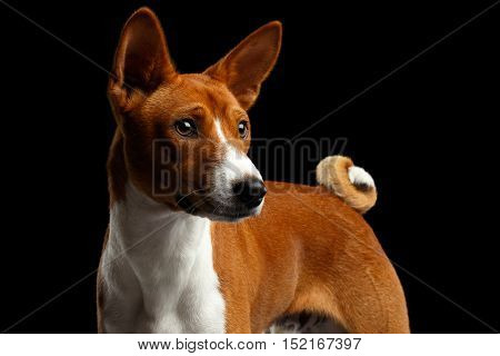 Portrait of White with Red Basenji Dog with Curl tail, Stare at side on Isolated Black Background,