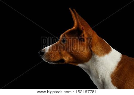 Close-up Portrait of White with Red Basenji Dog Stare at side on Isolated Black Background, Profile view