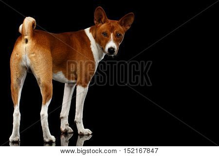 White with Red Basenji Dog Standing with Curl tail, Stare back on Isolated Black Background with Reflection