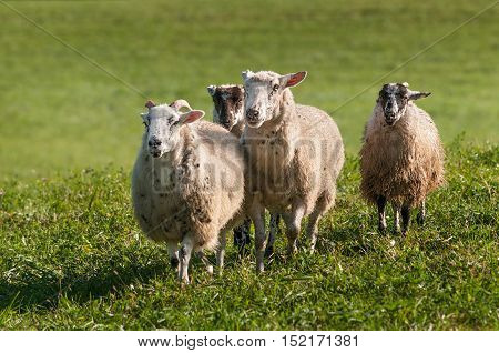 Four Sheep (Ovis aries) Make a Stand - at sheep dog herding trials
