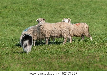 Herding Dog Walks Up on Group of Sheep (Ovis aries) - at sheep dog herding trial