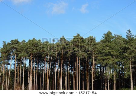 Pine tree forest and blue sky