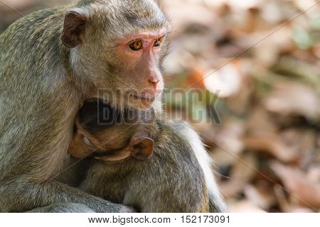 Mother Crab-eating macaque feeding her baby at the park.