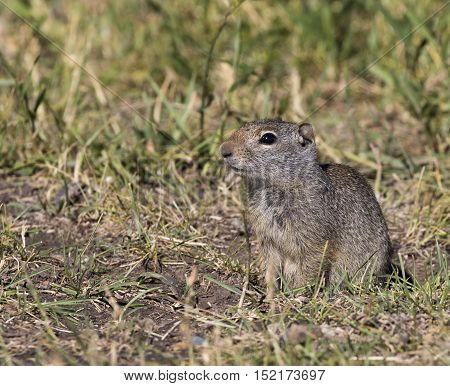 Uinta ground squirrel on grass near burrow in summer