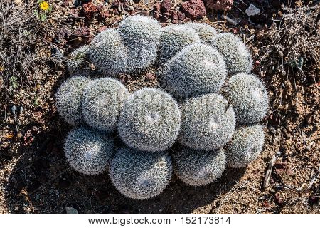 A group of Owl's Eye Pincushion cactus, a plant native to Mexico
