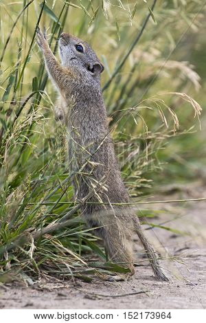 Uinta ground squirrel reaching or stretching for grass seeds