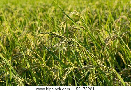 Japanese countryside agriculture farm scene. Close up of rice plant paddy on the field on sunset