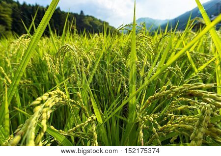 Agriculture farm scene in rural Japan. Close up of rice plant paddy on the field on sunset. Selective focus DOF