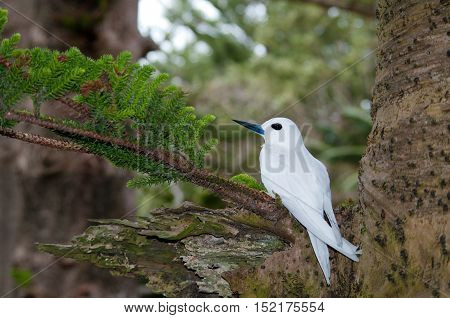 White Tern (Gygis alba) sitting on egg in Norfolk Island Pine tree on Lord Howe Island, Australia. These birds do not build a nest, but lay their egg on a bare branch.