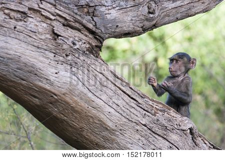 Funny baby monkey in a boxer's pose on a tree in the African savannah