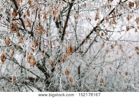 Maple tree in frosty winter day. Autumn harvest of maple covered with snow. Cold, early frosts, hoar concept