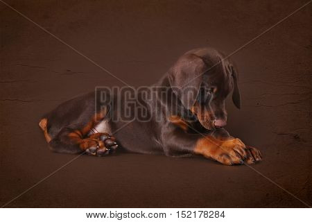 Cute brown Doberman puppy with big paws and ears lying in the Studio on a brown background. Great family and working dog.